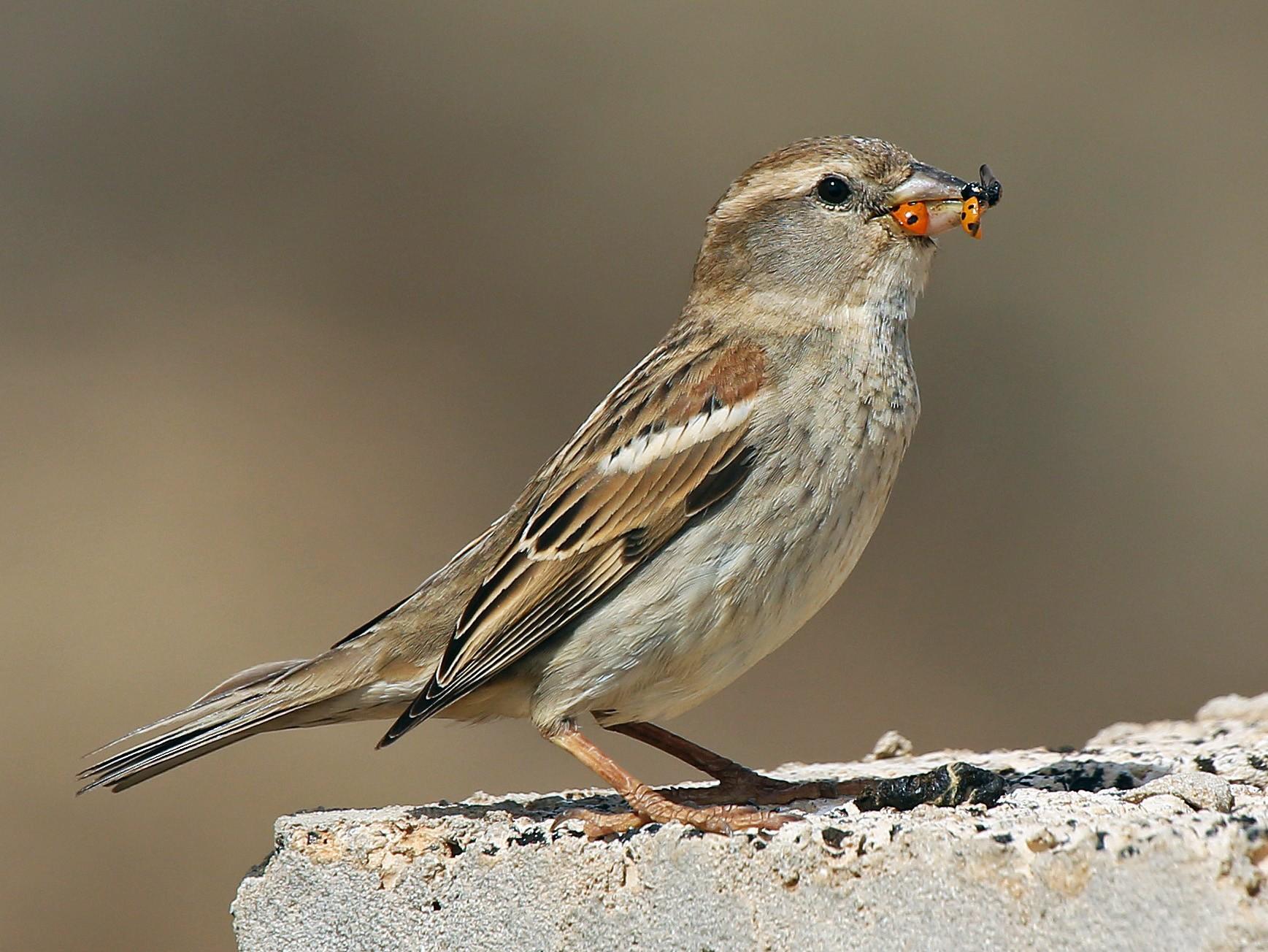 Spanish Sparrow - Paul Chapman