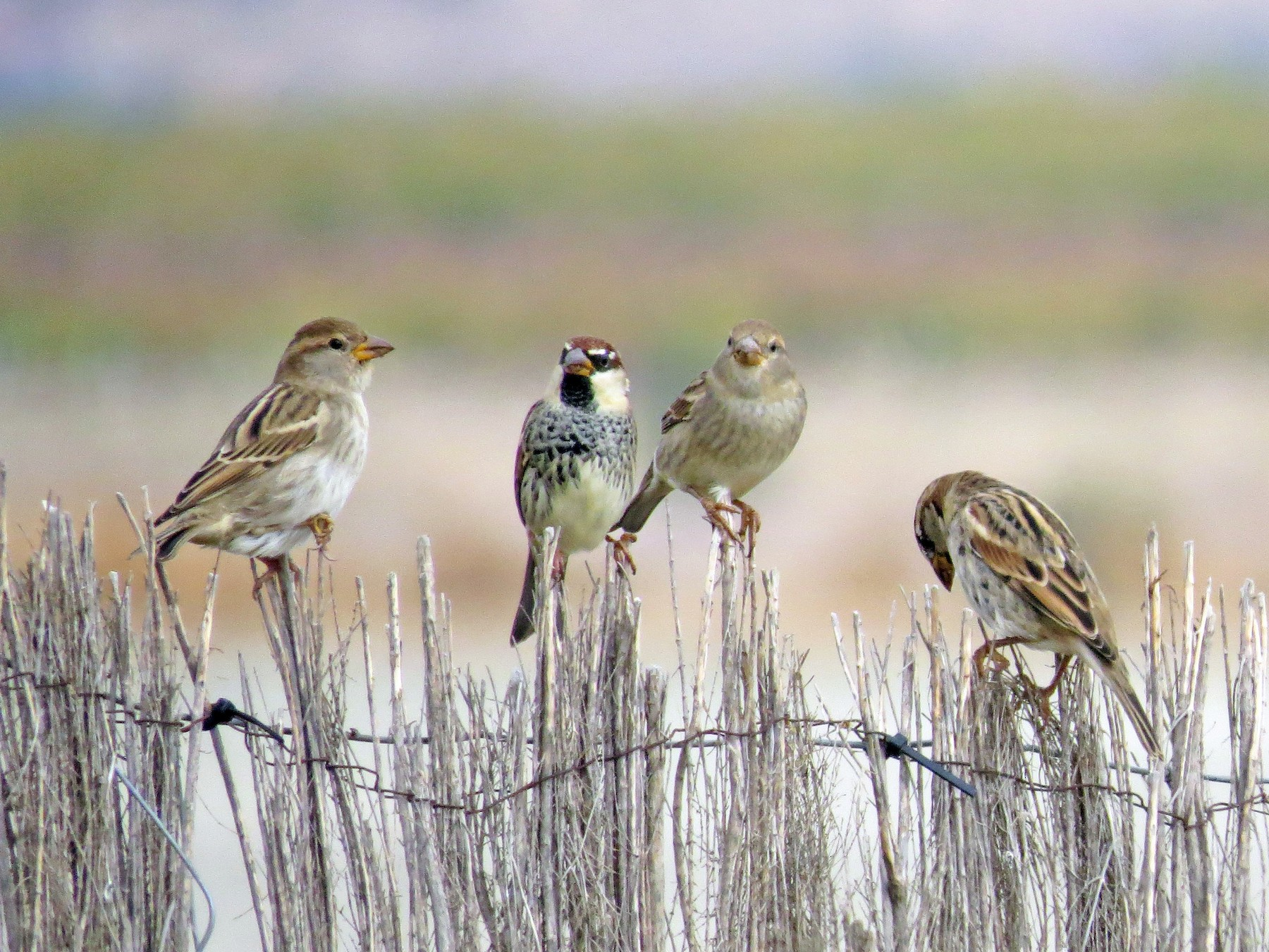 Spanish Sparrow - Jose Vicente Navarro San Andrés