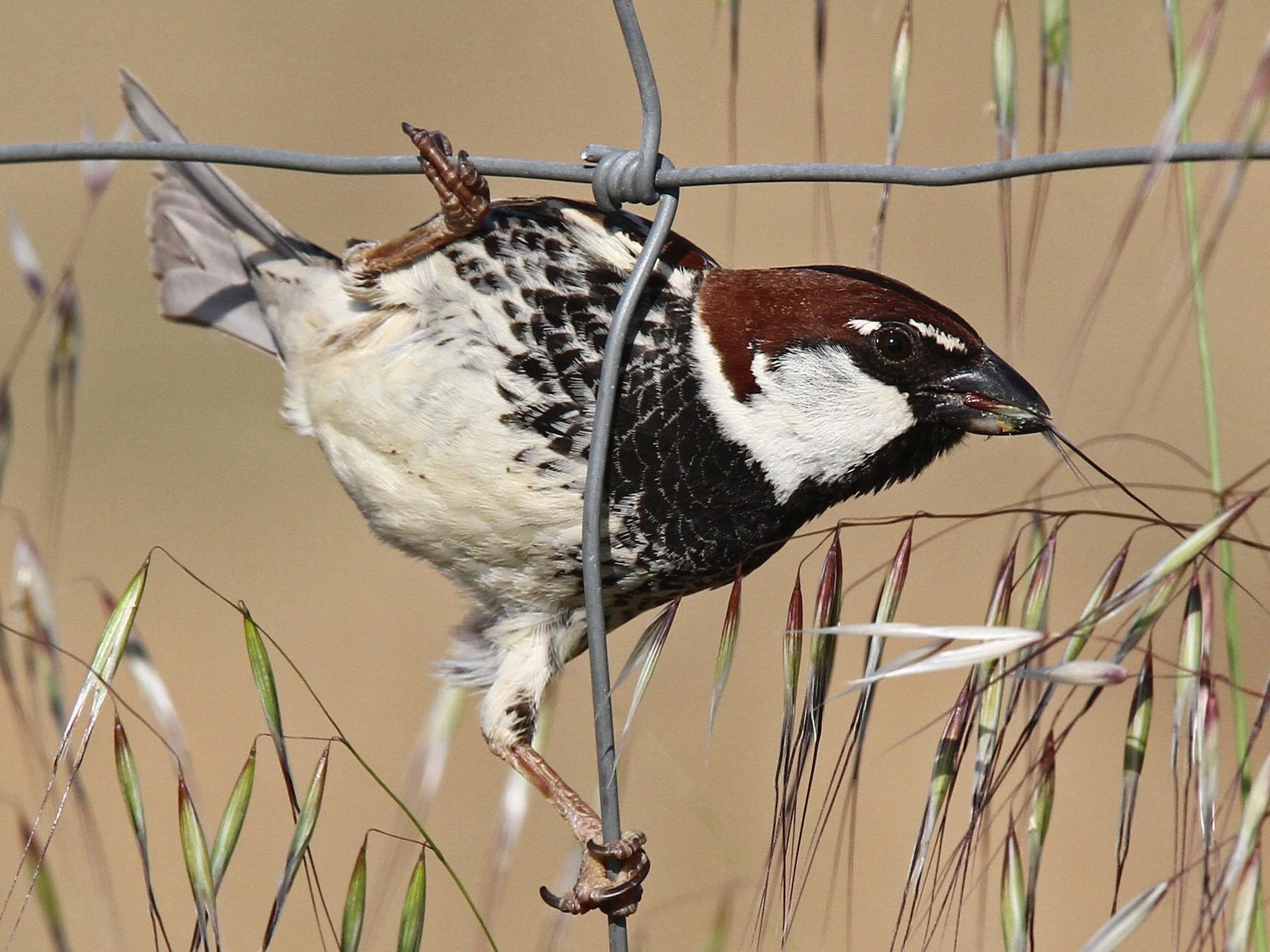 Spanish Sparrow - Volker Hesse
