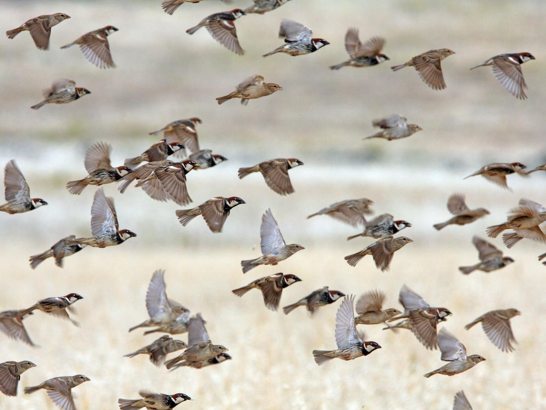 Spanish Sparrow - Christoph Moning