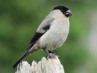 - Azores Bullfinch