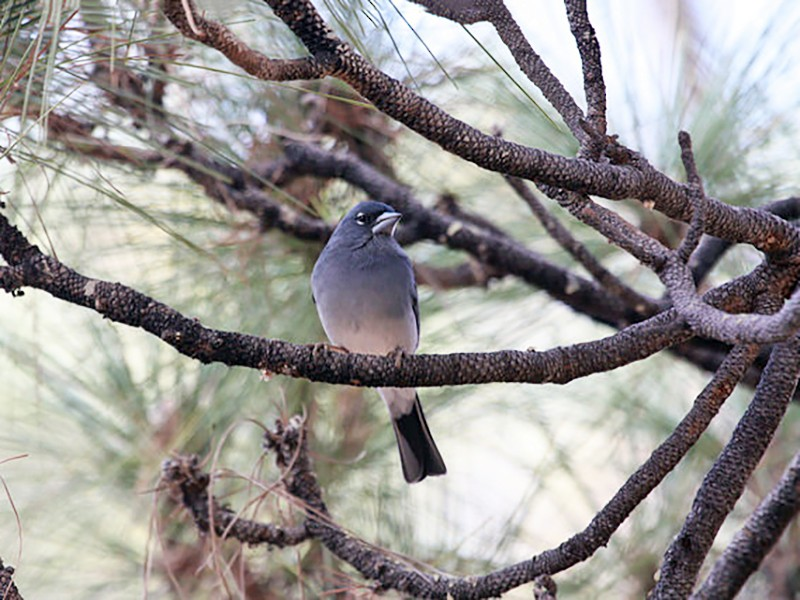 Tenerife Blue Chaffinch - Paul van Els