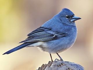 - Tenerife Blue Chaffinch