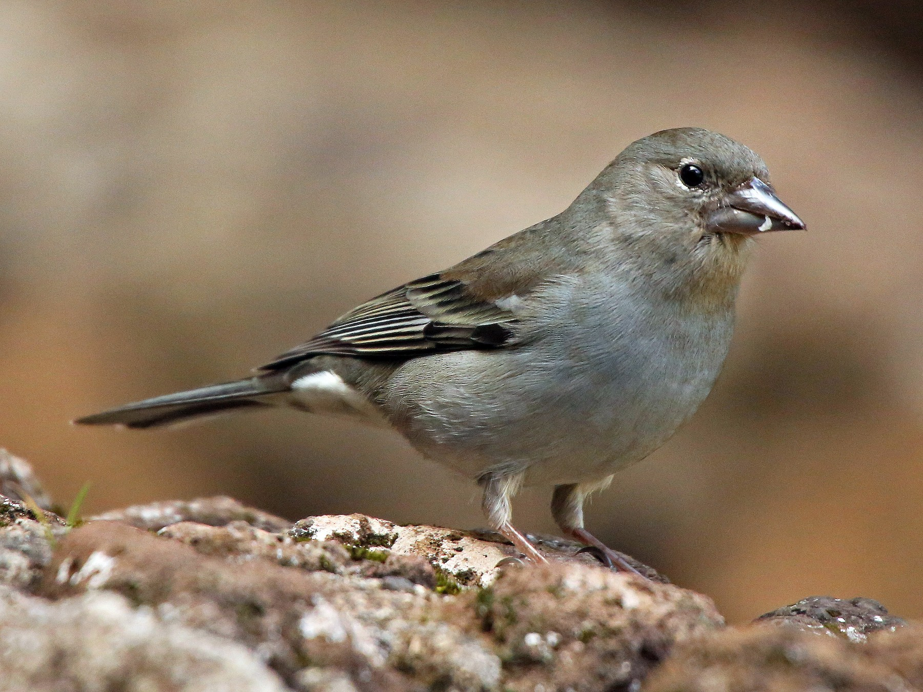 Tenerife Blue Chaffinch - Paul Chapman