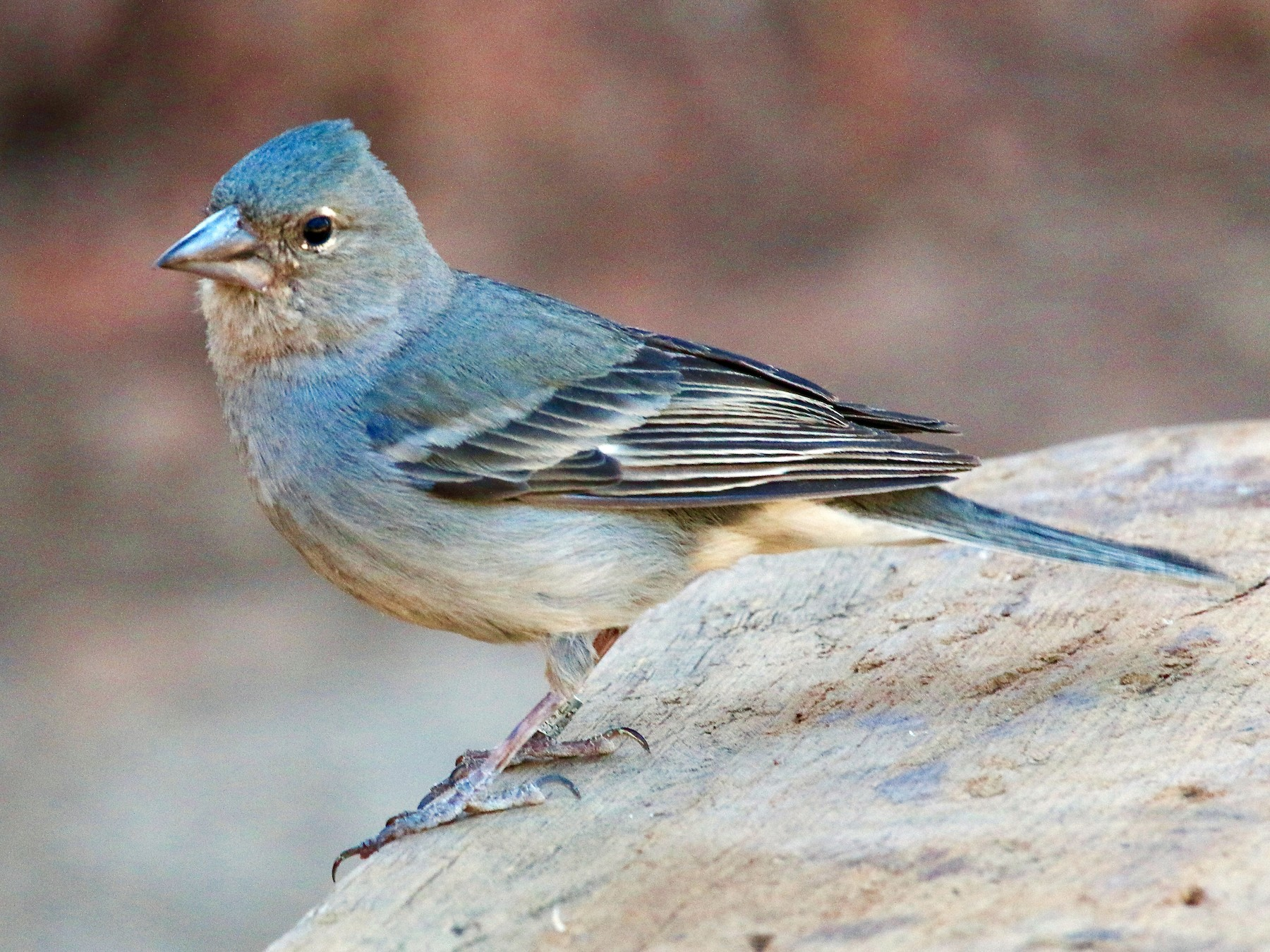 Tenerife Blue Chaffinch - Karl Overman