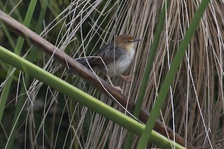 - Carruthers's Cisticola