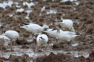 Snow Goose, ML78598781
