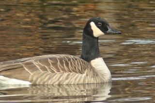 Canada Goose (moffitti/maxima)