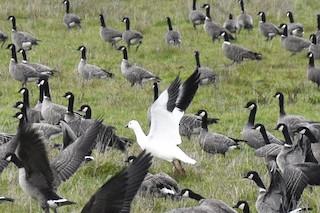 Ross's Goose, ML78677051