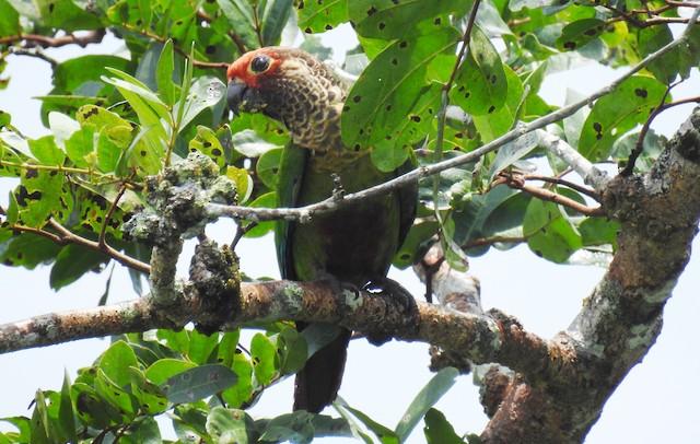 ©Fernando Angulo - CORBIDI - Rose-fronted Parakeet
