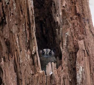 - Vogelkop Owlet-nightjar