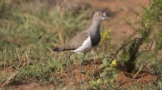 - Senegal Lapwing