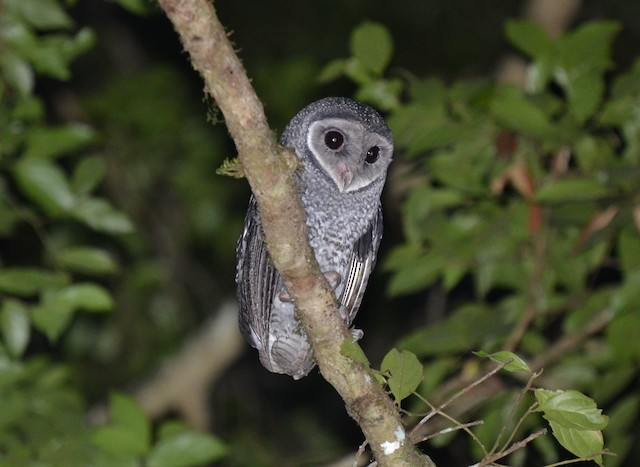 Sooty Owl (Lesser)
