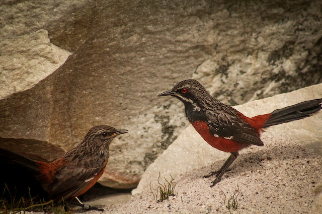 Adult male (right) and juvenile (left).
