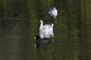 Snow Goose, ML78919511