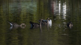 Greater White-fronted Goose, ML78919541