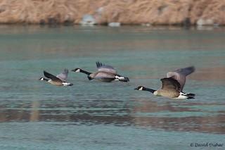 Cackling Goose, ML78925221