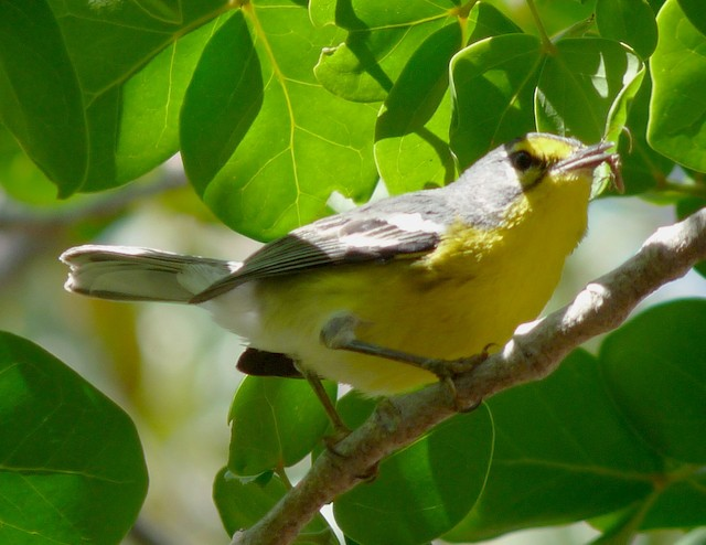 Adelaide's Warbler with unidentified prey, possibly some type of beetle.