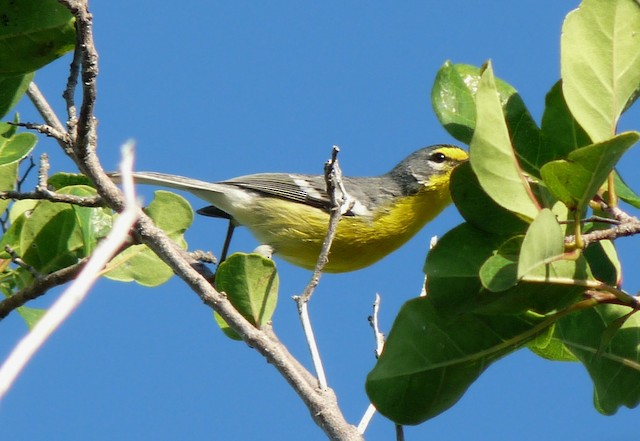 Adelaide's Warbler stretching to glean from a leaf.