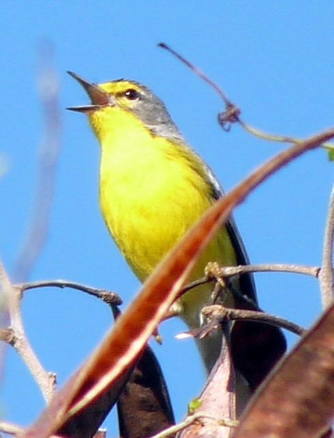 Male Adelaide's Warbler singing from an exposed perch.