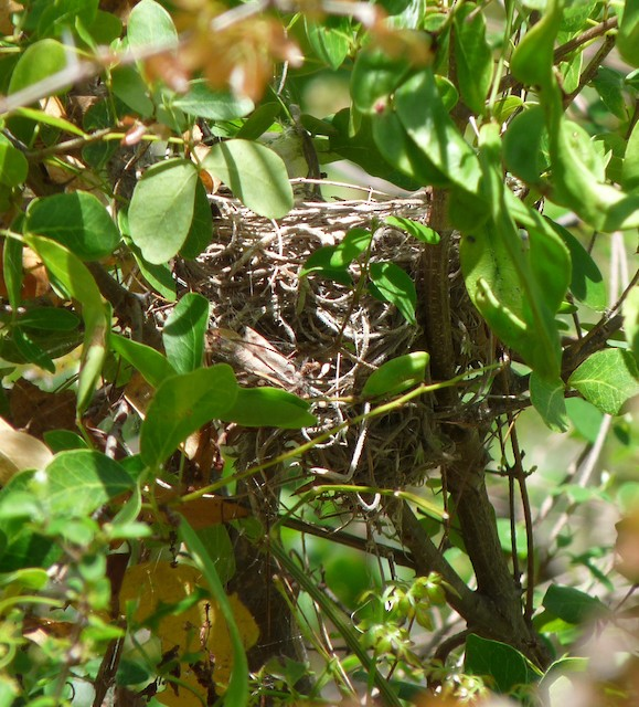 Adelaide's Warbler nest in a sapling at a height of about 2.5 m.
