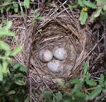 Nest containing 3 Adelaide's Warbler eggs.