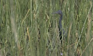 - Slaty Egret