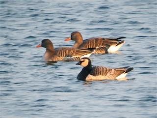 Barnacle Goose, ML78983361