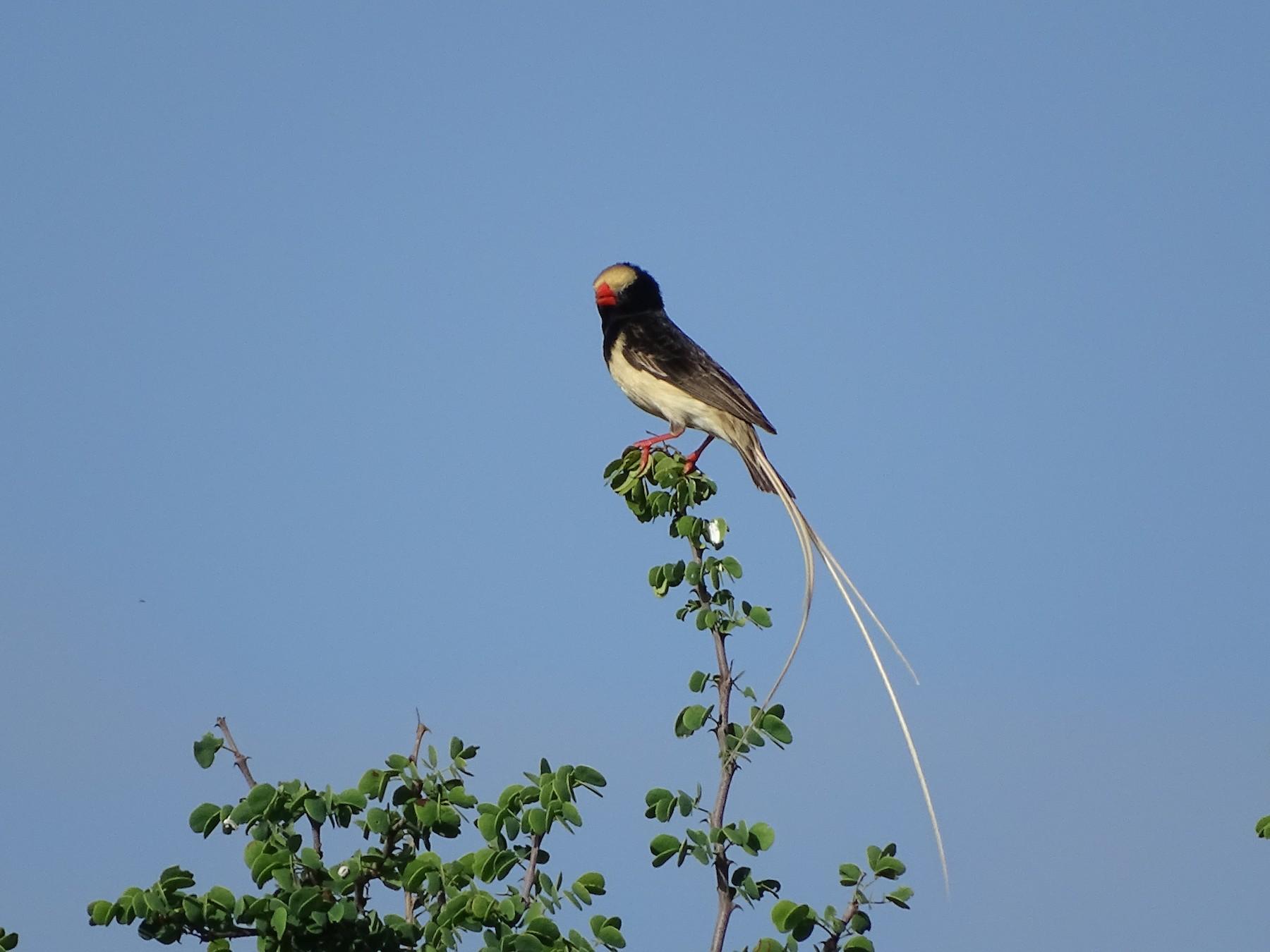 Straw-tailed Whydah - Doris  Schaule
