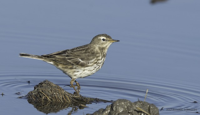 ©Rogério Rodrigues - Water Pipit