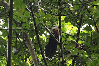 - Scale-feathered Malkoha