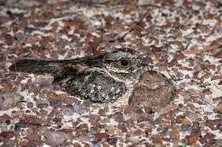 - Large-tailed Nightjar