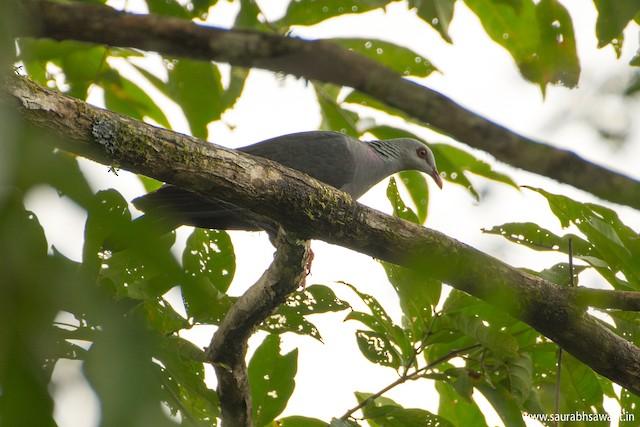 Andaman Wood-Pigeon