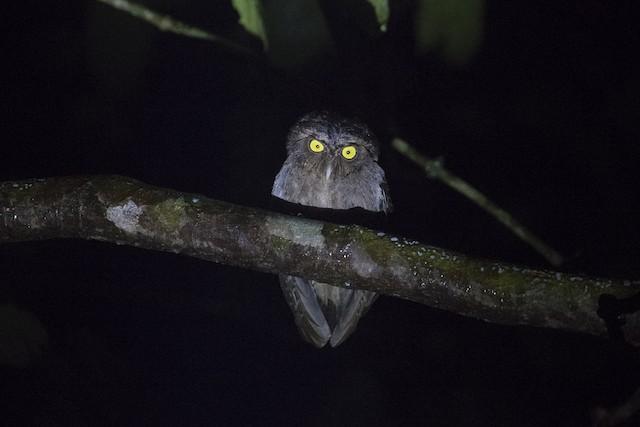 Andaman Scops-Owl
