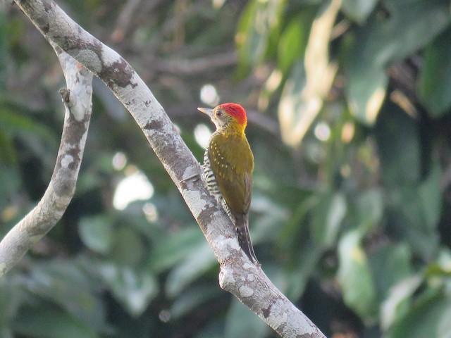 Golden-collared Woodpecker