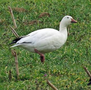 Snow Goose, ML79234271