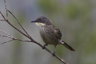 - Yellow-throated Greenbul