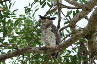 - Barred Eagle-Owl