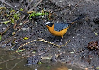 - Snowy-crowned Robin-Chat