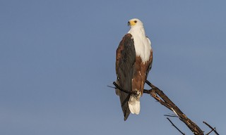 - African Fish-Eagle