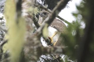 - New Guinea Eagle
