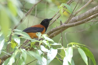 - Hooded Pitohui