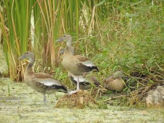 Black-bellied Whistling-Duck, ML79688371