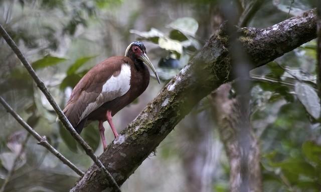 Madagascar Ibis