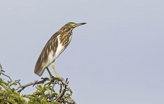 - Malagasy Pond-Heron