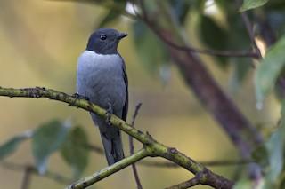 - Madagascar Cuckooshrike