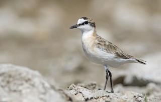 - White-fronted Plover