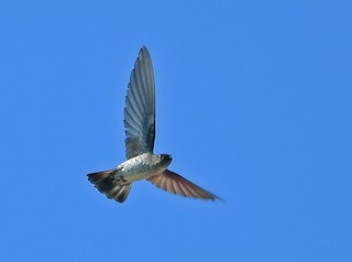 - Gray-rumped Swiftlet