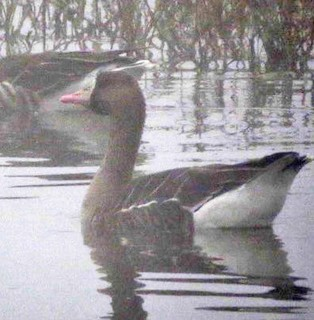 Greater White-fronted Goose, ML80039051