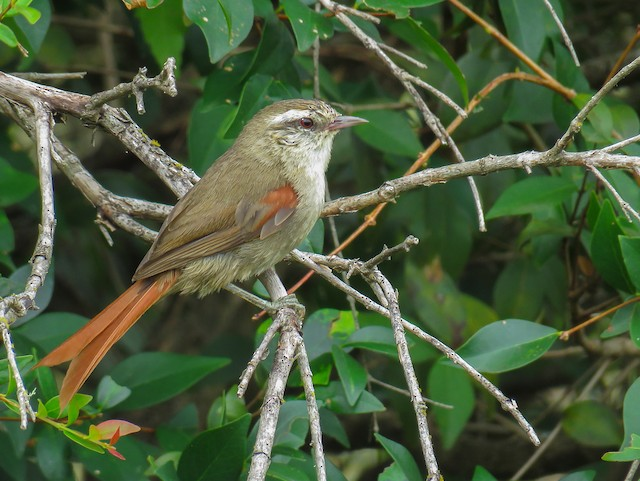 Stripe-crowned Spinetail